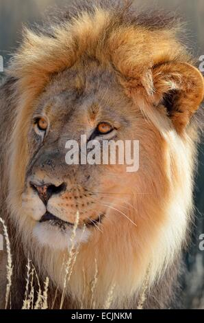Lion (Panthera leo), adult male, close up, Kgalagadi Transfrontier Park, Northern Cape, South Africa, Africa - Stock Photo