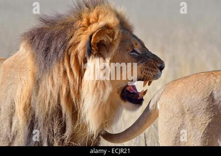 Lion (Panthera leo), roaring and following the tail of a lioness, Kgalagadi Transfrontier Park, Northern Cape, South - Stock Photo