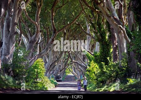United Kingdom, Northern Ireland, County Antrim, Ballymoney, the Dark Hedges a striking avenue of arched beech trees - Stock Photo