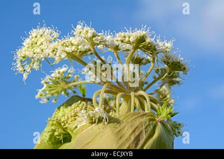 France, Doubs, Brognard, flora, Umbelliferae, wild carrot (daucus carotta) Outbreak fleu - Stock Photo