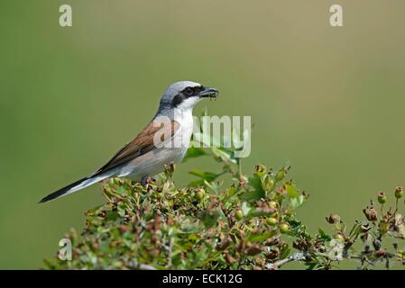 France, Doubs, bird, Red backed Shrike (Lanius collurio), male on the lookout for prey to feed her chicks - Stock Photo