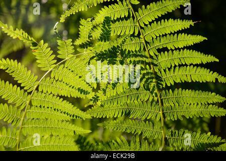 France, Doubs, bracken (Pteridium aquilinum) in forest - Stock Photo