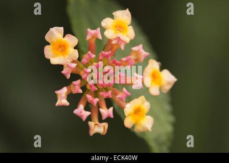 Lantana flowers, Maharashtra, India - Stock Photo
