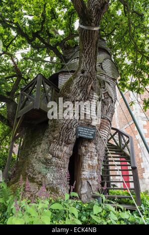 France, Seine Maritime, Allouville Bellefosse, the 9th century oak, more than 9 meters in circumference, is the - Stock Photo