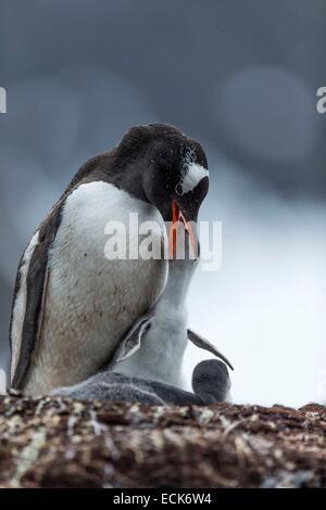 South Atlantic Ocean, South Georgia Island, gentoo penguin (Pygoscelis papua), young, nest - Stock Photo