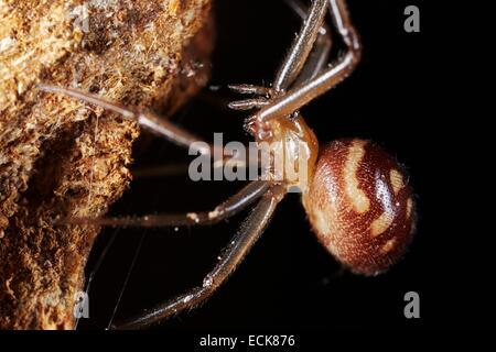 France, Paris, Araneae, Theridiidae, Dark comb-footed spider(Steatoda grossa), female - Stock Photo