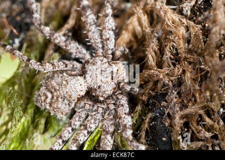 France, Araneae, Philodromidae, Lichen Running Spider (Philodromus margaritatus) - Stock Photo