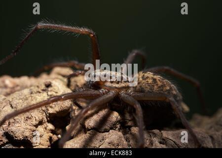 France, Araneae, Agelenidae, Dust Spider (Tegenaria atrica), female, 15 mm - Stock Photo