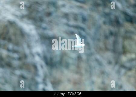 South Atlantic Ocean, South Georgia Island, snow petrel (Pagodroma nivea), flying - Stock Photo
