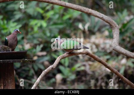 The common emerald dove (chalcophaps indica), Maharashtra, India. - Stock Photo