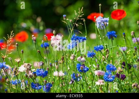 France, Isere, Grenoble, cornflowers (Centaurea cyanus) and poppies (Papaver rhoeas) - Stock Photo