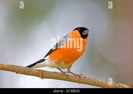 Finland, Kuhmo area, Kajaani, Bullfinch, Common bullfinch or Eurasian bullfinch (Pyrrhula pyrrhula), adult male - Stock Photo