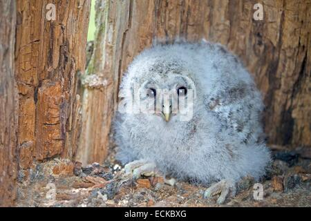 Finland, Kuhmo area, Kajaani, Ural owl (Strix uralensis, young in the nest - Stock Photo