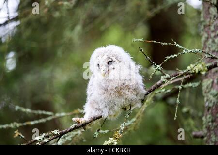 Finland, Kuhmo area, Kajaani, Ural owl (Strix uralensis, young just after he left the nest, perched on a branch - Stock Photo