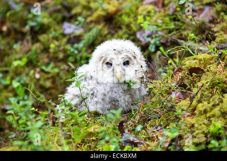Finland, Kuhmo area, Kajaani, Ural owl (Strix uralensis, young just after he left the nest, on the ground - Stock Photo