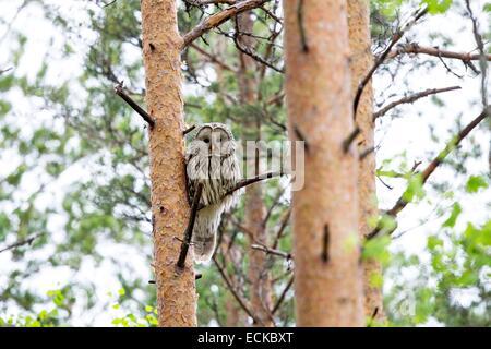 Finland, Kuhmo area, Kajaani, Ural owl (Strix uralensis), adult female, perched on a tree - Stock Photo