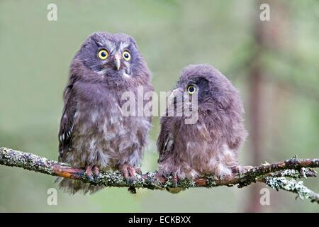 Finland, Kuhmo area, Kajaani, Boreal owl or Tengmalm's owl (Aegolius funereus), two youngs just after they left - Stock Photo