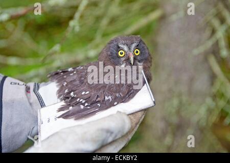 Finland, Kuhmo area, Kajaani, Boreal owl or Tengmalm's owl (Aegolius funereus), a resercher is mesuring the wing - Stock Photo