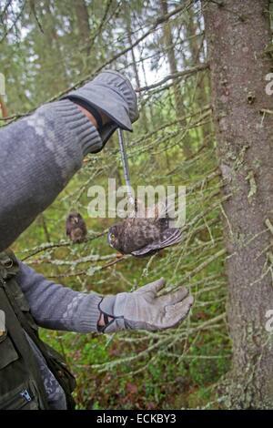 Finland, Kuhmo area, Kajaani, Boreal owl or Tengmalm's owl (Aegolius funereus), a researcher weight a young bird - Stock Photo
