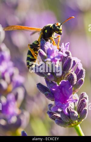 France, Vaucluse, Sault, common Wasp (Vespula vulgaris) on a sprig of lavender - Stock Photo