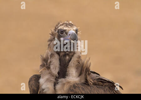 Eurasian Black Vulture - Aegypius monachus - Stock Photo