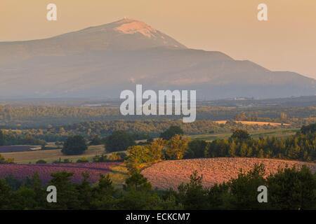 France, Alpes de Haute Provence, Landscapes lavender near Banon, in background the Mont Ventoux - Stock Photo