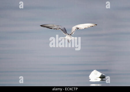 Gulls or seagulls are seabirds of the family Laridae in the sub-order Lari. - Stock Photo