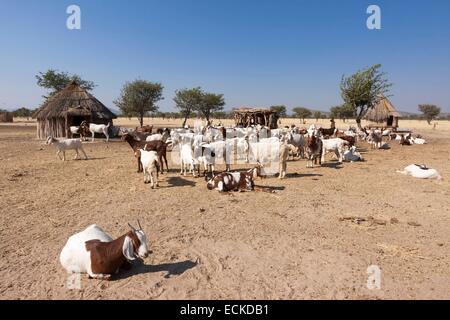 Namibia, Kunene region, Kaokoland, Himba village near Opuwo, herd of goats - Stock Photo