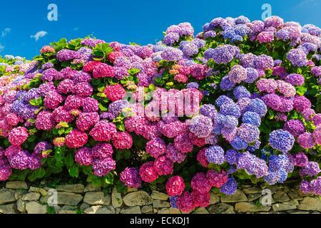 France, Manche, Cotentin, Hydrangea macrophylla - Stock Photo