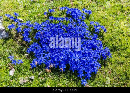 Spain, Aragon, Torla, Ordesa and Mont Perdu national park, listed as World Heritage by UNESCO, spring gentian Gentiana - Stock Photo