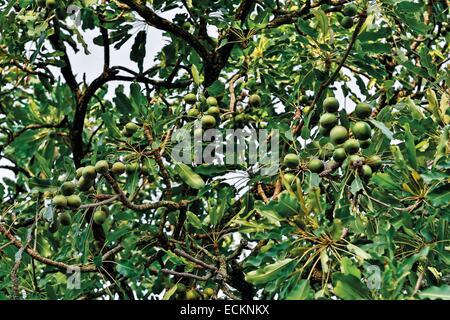Burkina Faso, Bobo Dioulasso, Toussiana, fruits of the shea tree - Stock Photo
