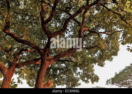 Burkina Faso, Bobo Dioulasso, Toussiana, shea tree - Stock Photo
