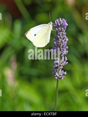A close up macro shot of a Small White (Pieris rapae) butterfly on an English Lavender (Lavandula angustifolia) - Stock Photo