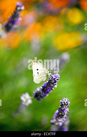 A Small White (Pieris rapae) butterfly on an English Lavender (Lavandula angustifolia) flower in a summer garden - Stock Photo