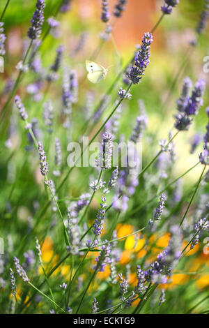 A Small White (Pieris rapae) butterfly flying, about to land on an English Lavender (Lavandula angustifolia) flower - Stock Photo