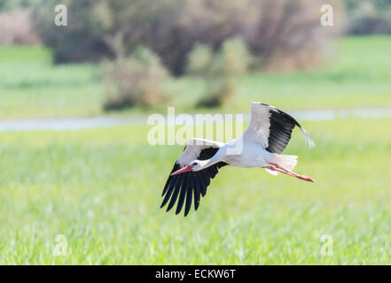 write stork, ciconia ciconia flying field - Stock Photo