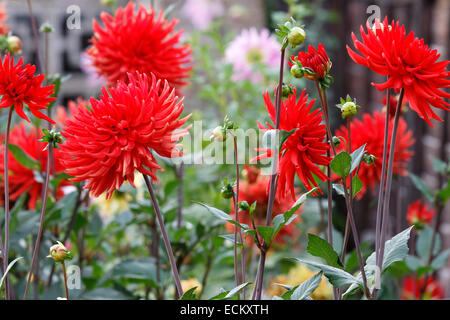 Red Cactus Dahlia 'Bergers Record' in flower border - Stock Photo