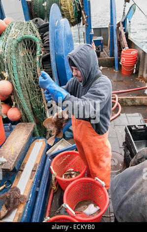 Fisheries observer checks weight of bycatch Longhorn Sculpin (Myoxocephalus octodecemspinosus) on deck of fishing - Stock Photo