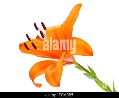 Orange lily flower. Isolated on white background - Stock Photo