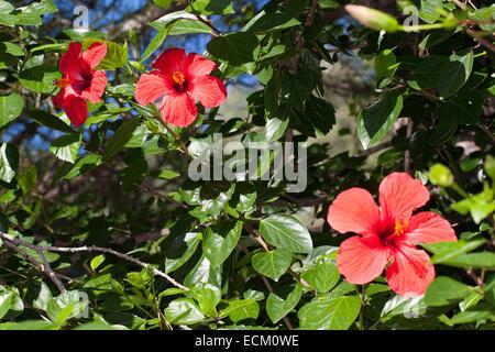 Hibiscus, Rose mallow, Chinese hibiscus, China rose, Hibiscus rosa-sinensis, Hibiscus rosa sinensis, Hibiskus, Roseneibisch - Stock Photo