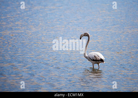 greater flamingo on water - Stock Photo