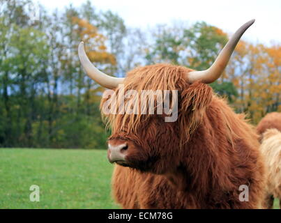 Highland cow portrait by autumn day with colorful leaves on trees - Stock Photo