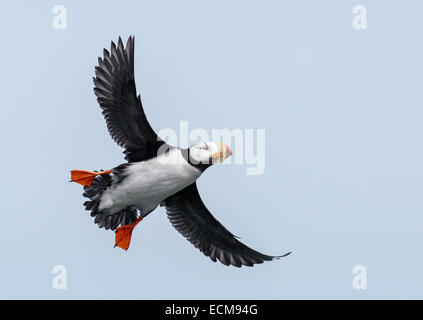 Horned Puffin in flight along the Cook Inlet at Duck Island near Lake Clark National Park, Alaska. - Stock Photo