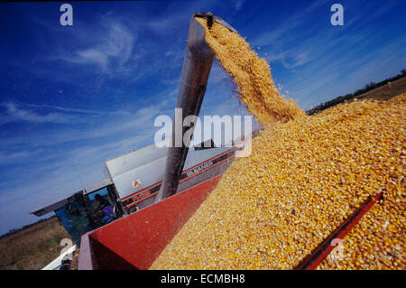 A gleaner combine harvests corn into a waiting trailer in the midwestern United States. - Stock Photo
