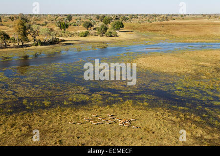 Red Lechwe (Kobus leche leche) herd in the freshwater marshland at the Gomoti River, aerial view, Okavango Delta - Stock Photo