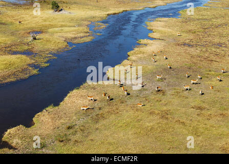 Red Lechwe (Kobus leche leche) herd in the freshwater marshland at the Gomoti River, aerial view, Okavango Delta, - Stock Photo