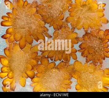 Chrysanthemum frozen into ice art background - Stock Photo