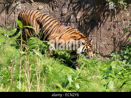 Sumatran tiger (Panthera tigris sumatrae) on the prowl in a natural setting in Burgers' Bush Arnhem Zoo, The Netherlands - Stock Photo