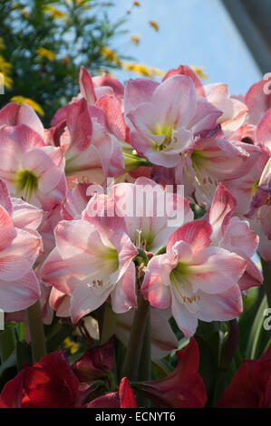 A cluster of pink Amaryllis Hippeastrum, photographed at the Eden Project in Cornwall, UK - Stock Photo