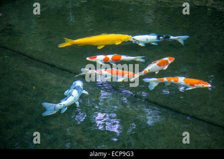 Koi carp (Cyprinus carpio) in a pond, aquarium fish, - Stock Photo